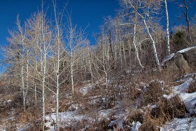 Winter Aspens 3 Blue Sky Snow 11-2-19 Beaver Creek Colorado