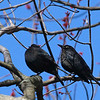 Rusty Blackbirds