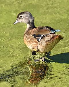 Mallard Duck (immature)
