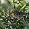 Grace's Warbler; Santa Cruz, CA; 18 September 21