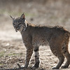 Bobcat, Kern County