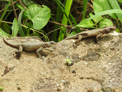 Amazon Lava Lizards