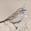 Sagebrush Sparrow, Lake Los Angeles, CA, 9 January 2021