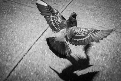 Pigeon, 42nd Street