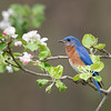 Male Eastern Bluebird in apple blossoms