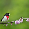 Male Rose-breasted Grosbeak in redbud
