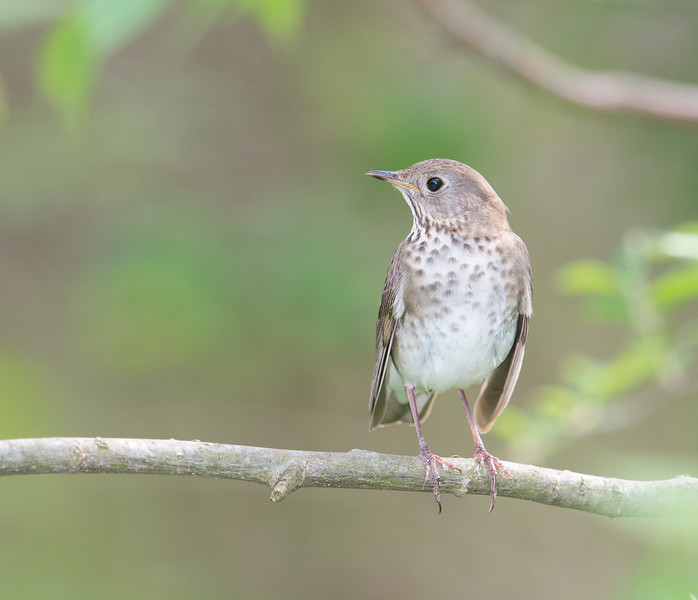 Gray-cheeked Thrush, Crawfordsville, IN