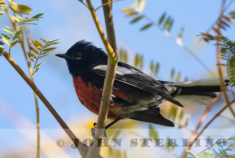 Painted Redstart, Ontario Speedway Park, San Bernardino County, CA; 19 March 2021