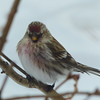 Common Redpoll - male - home - December 1, 2015