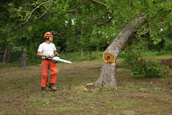 Staff photo by Harrison Grimwood<br /> Cherokee State Park employee Michael Miller stands back as a mulberry tree topples as he and others clear storm debris Monday before the reopening of Greenleaf State Park for the Memorial Day holiday weekend. Miller cut the tree down because it was too damaged by an April storm to recover.