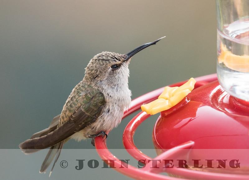immature Black-chinned Hummingbird; Madera Canyon, Santa Rita Mtns, AZ; 4 June 2016
