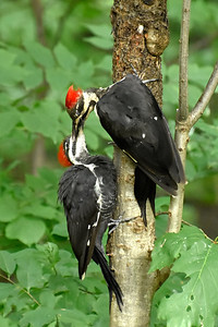 Pileated Woodpeckers (mother and young)