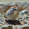 Chipping Sparrow - home - May 4, 2016