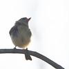 Least/Dusky Flycatcher Dec. Solano County