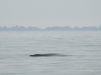 Sleeping Whale Calf