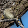 Dusky Flycatcher;  December. Solano County