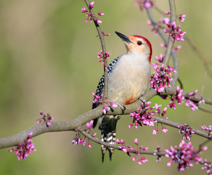 Male Red-bellied Woodpecker with redbud blossoms
