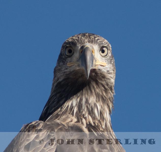 juvenile Bald Eagle, Goose Lake, Modoc County, 23 November 2015