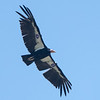 California Condor, San Benito County, spring 21