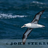 Laysan Albatross; Mendocino pelagic; 15 May 2016