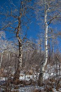 Winter Aspens Blue Sky Snow Portrait 2 11-2-19 Beaver Creek Colorado