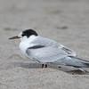 Common Tern, Santa Cruz, CA, 18 Sept. 21