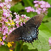 Eastern Tiger Swallowtail (f)