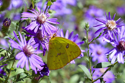 Cloudless Sulphur in the Georgia Asters