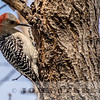 Red-bellied Woodpecker, Garden City, Kansas, 17 April 2016