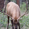 Bull Elk, Grand Canyon National Park, Arizona
