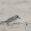 Lesser Sand-Plover; Santa Cruz, CA; 18 September 21