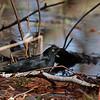 Rusty Blackbird (adult male)