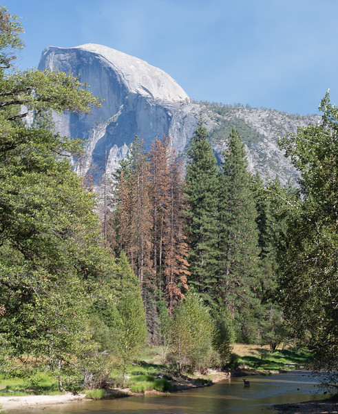 Half Dome, Mule Deer in Merced River, Yosemite National Park, California