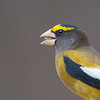 Male Evening Grosbeak, Crawfordsville, IN