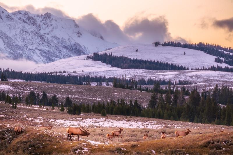 Yellowstone Elk Rut
