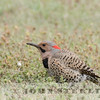 Yellow-shafted Flicker, Garden City, Kansas, 17 April 2016