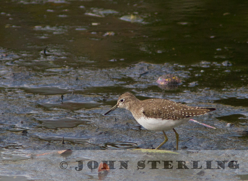 Solitary Sandpiper; Baca Park, Orange County; 4 March 2013