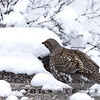 Dusky Grouse, Black Canyon NP,  Colorado, 16 April 2016
