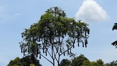 Oropendola and Cacique Birds