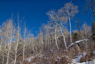 Winter Aspens 2 Blue Sky Snow 11-2-19 Beaver Creek Colorado