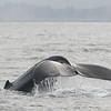 Humpback Whale, Monterrey Bay, California