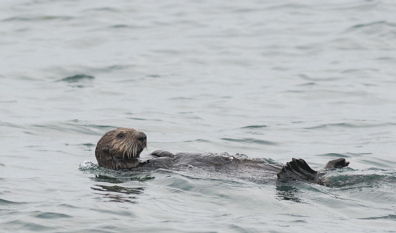 Sea Otter, Monterrey Bay, California