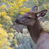 Elk Calf, Grand Canyon National Park, Arizona