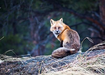Sugarloaf Neighborhood Fox