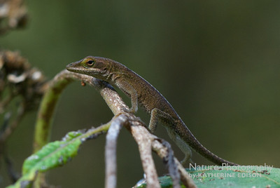 Green Anole (Turned Brown)