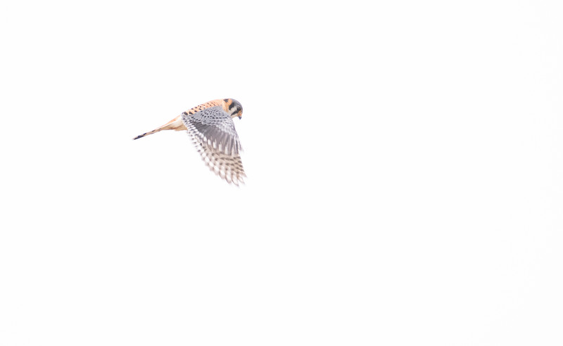 American Kestrel hovering, Goose Pond FWA, IN