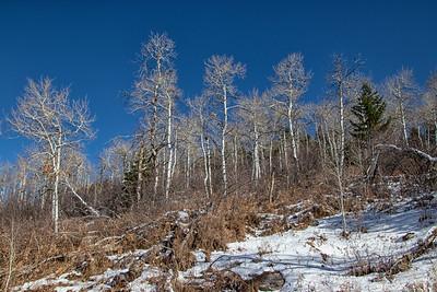 Winter Aspens 4 Blue Sky Snow 11-2-19 Beaver Creek Colorado