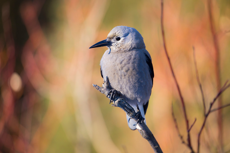 Clark's Nutcracker in autumn