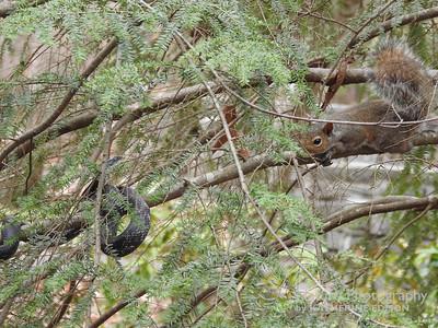 Squirrel vs. Black Rat Snake