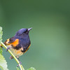 Male American Redstart, Crawfordsville, IN